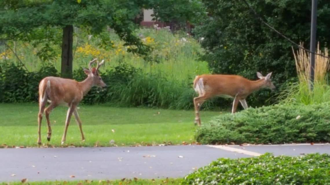 Northfield Deer
